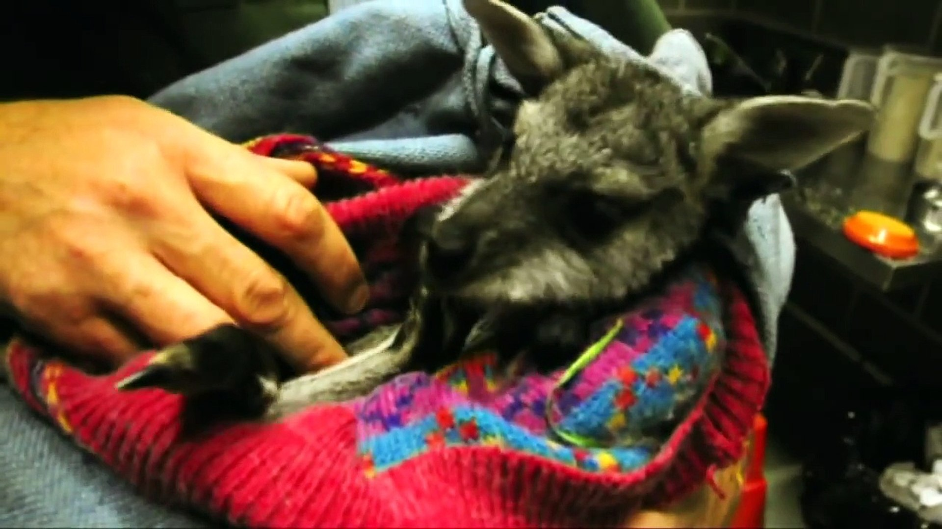 About Bluey, the orphaned Red-necked Wallaby joey...