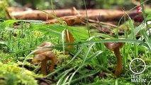 Attention aux champignons vénéneux !