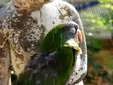 Frostie The Dancing Cockatoo and Avis The Blue Crown Conure Enjoy The Fountain Together!