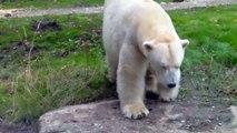 Polar Bear Giovanna and Yoghi - Siberian Tiger and Puma - Munich Zoo - Tierpark Hellabrunn