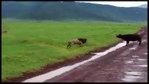 Animal Fights - Buffalo vs Lion dailymotion | Wild Animal Fights 2015