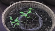 #1 Grow Poppies in 5 Stages - How to: Prep Soil, Plant Seeds, for Germinating Sprouts