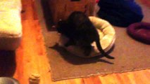 My Cat and Her New Bed - Ring Around the Rosie