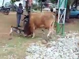 Size Doesn't Matter, Attitude Does! Small Goat Fighting With Cow !!