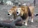 Miracle of Allah Lions Saying Allah Allah Allah