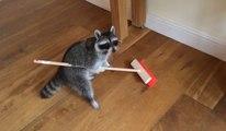 Un raton laveur apprivoisé passe le balais