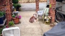 Un oiseau vient piquer les poils sur un chien pour faire son nid... Courageux!