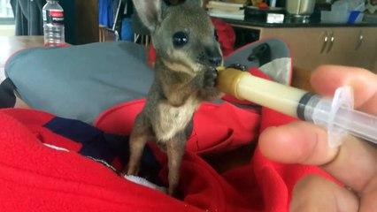 Nourrir un bébé Wallaby   le truc le plus cool du monde! sur Orange Vidéos a1b98faabf3