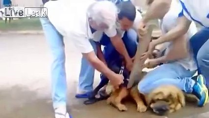 pit bull attacks chow chow