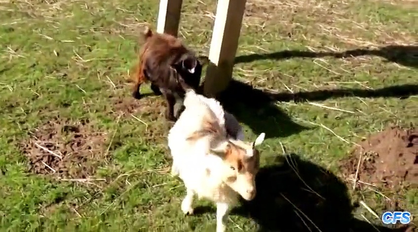"""""""Cute Baby Goats Compilation"""" 