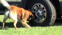 Police K9 drug search and bite combined training
