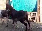 Animal reproduction accoppiamento cavalli