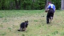 Belgian Malinois vs. German Shepherd - Khaos & Havok