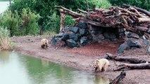 Les ours découvrant pour la 1ère fois leur nouvel espace au Parc de Sainte-Croix