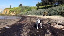 Staffies love the Beach! Take yours too!