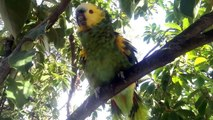 """My Blue Fronted Amazon Parrot """"Clecko"""" Talking and Whistling in my Backyard Tree"""