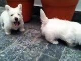 Filhotes Scottish Terrier - Scottish Terrier Puppies