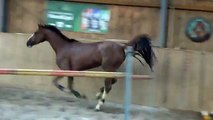 JUMPER FOR SALE: Flowergirl, 2010, Aerobic x Calvados, free jumping 09-15