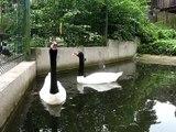 Beautiful black-necked swans. Симпатяги черношейные лебеди.