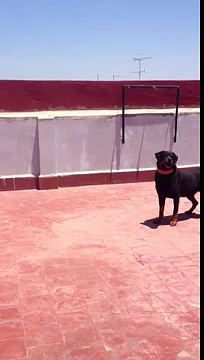 Funny Rottweiler Léon Playing with his Air Tennis Ball