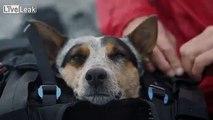 First Wingsuit Base Jumping Dog