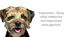 BORDER TERRIER  Dog İnformation