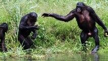 Pour l'amour des bonobos et des chiens (mon chien,ma ville)