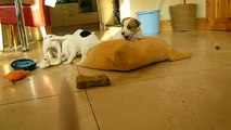 PARSON JACK RUSSELL PUPPIES AT 5 WEEKS OLD!!