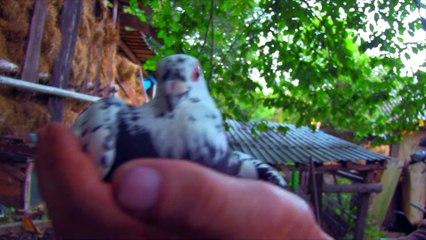 Kury Goguty Perliczki I Gołębie Czyli Kompiacja Ptaków Hodowlanych- Baw się z nami