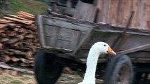 Zwierzęta Na Farmie - Gęsi- Baw się z nami