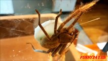 Spider giving birth ☆ Animals Giving Birth