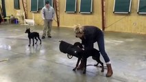 """5 Month Protection Trained Dobermans """"Fauna & Finn"""" Super Dogs For Sale"""
