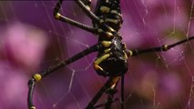 Une araignée aide une grenouille piégée dans sa toile