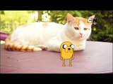 Cartoon Network Asia Pacfic Adventure Time Dancing Jake Cats