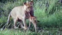 Lion saves calf- Lion protects prey and saves from another lion attack
