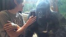Peculiar reacción de un gorila al ver fotos de otros gorilas