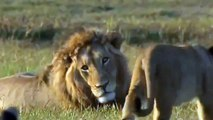 lion attack    lion attack human    lion attack car    Lion Attack Compilation 2014 HD