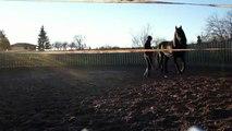 Phéa jument frison - friesian horse training