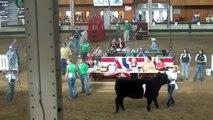 Iowa State Fair-Champion Maine-Anjou Steer Drive Sponsored by Goretska Show Steers