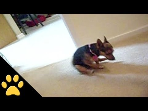Little Dog Ruins Carpet