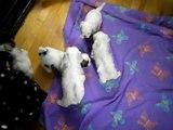 Malshi Puppies. 4 weeks old. (Shih-Tzu Maltese mix)