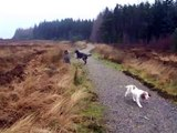 spaniels and deerhounds go for a walk.