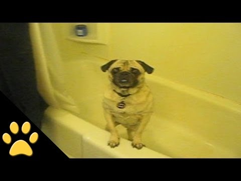 Pug Loves Bathtime