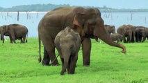 Musth beim Elephas maximus maximus