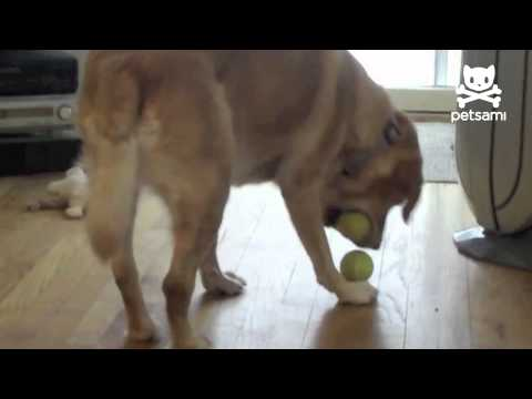 Dog fits 3 tennis balls in his mouth