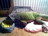 Iguanas are crazy for mangos
