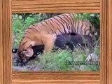top 10 wild animals, top 10 wild animals attck 2014 HD, top 10 wild animal fights HD