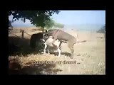 Animals video new Donkey      reproduction~1