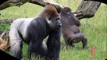 Gorilla: Animals for Children Kids Videos Kindergarten Preschool Learning Toddlers Sounds Songs Zoo