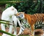White tiger facts- (Panthera tigris tigris)